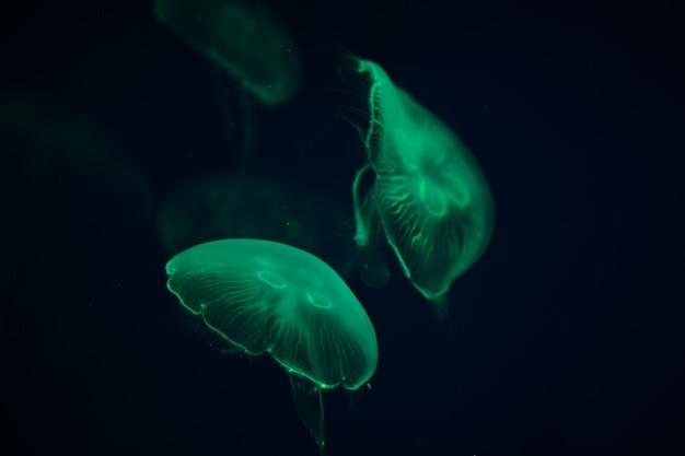 Meduse trasparenti che nuotano sott'acqua in acquario.