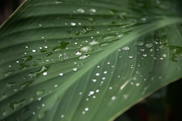 Acqua piovana trasparente su una foglia verde di una pianta di canna.