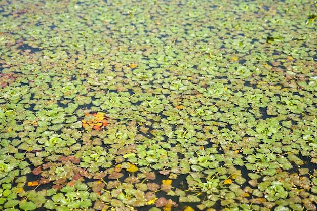 Trapa natans sulla palude sulla superficie delle erbe