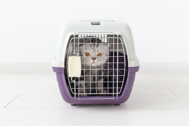 Viaggia con gatto - gatto grigio scottish fold in una scatola di trasporto su sfondo bianco.