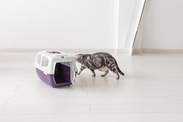 Viaggia con animali domestici - gatto grigio scozzese pieghevole vicino a una scatola di trasporto.