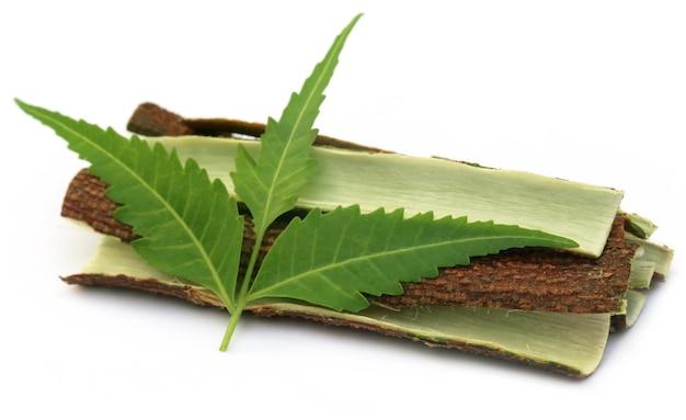Corteccia di albero di neem medicinale con foglie su sfondo bianco