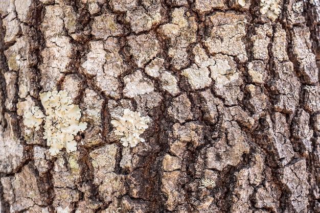 Priorità bassa di struttura della corteccia di albero