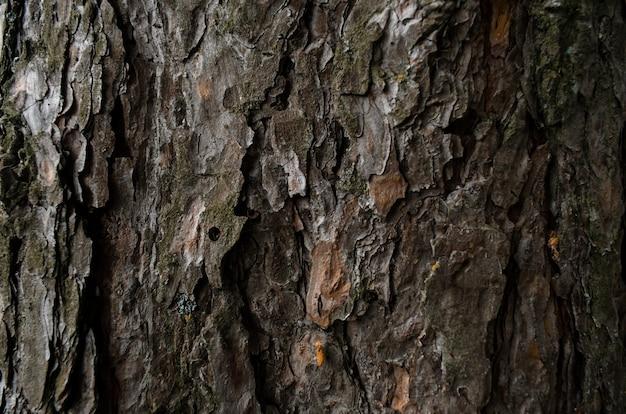 Trama di corteccia di albero. tronco di pino da vicino. focalizzazione morbida