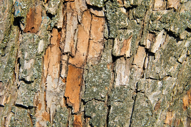 Struttura della corteccia di albero. sfondo di legno