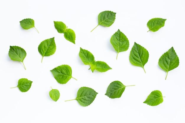 Basilico arboricolo (ocimum gratissimum).