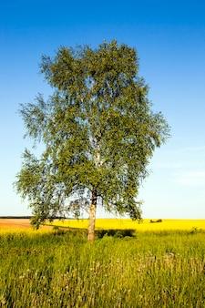 L'albero di una betulla che cresce in un campo agricolo