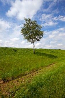 L'albero di una betulla che cresce in un campo su cui crescono piante