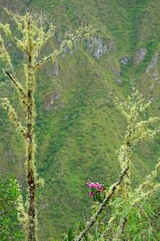 Ramo di albero ricoperto di licheni barba su mhuana picchu parte della cittadella incas di machu picchu perù