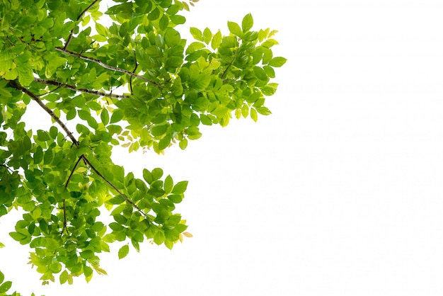 Ramo di albero con la foglia verde isolata
