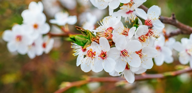 Ramo di un albero con fiori bianchi su sfondo sfocato verde