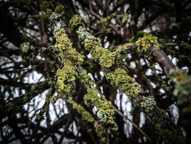 Rami degli alberi ricoperti di licheni