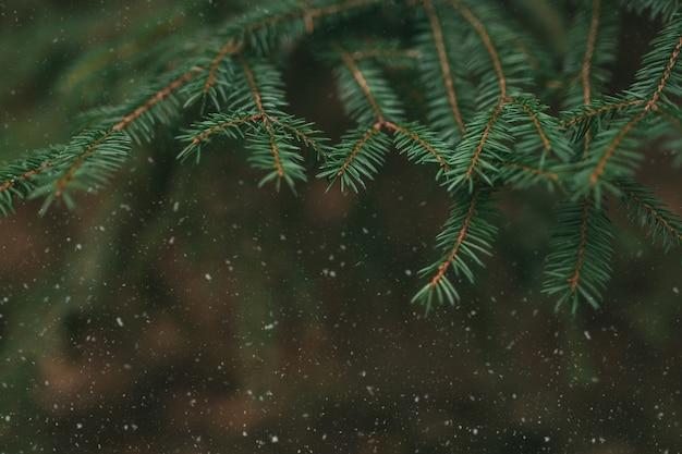 Rami degli alberi con la neve, close up di aghi di pino.