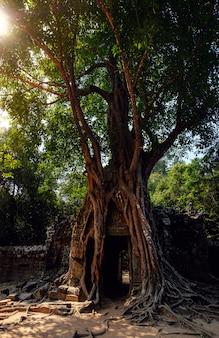 Albero che cresce sopra una porta nelle antiche rovine del complesso di angkor wat, in cambogia