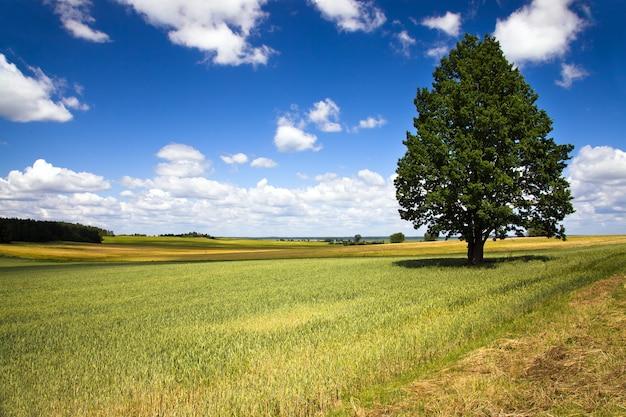 Albero che cresce in un campo in estate