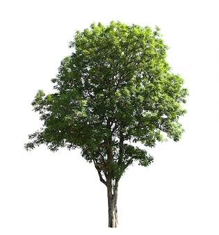 Isolato dell'albero su bianco