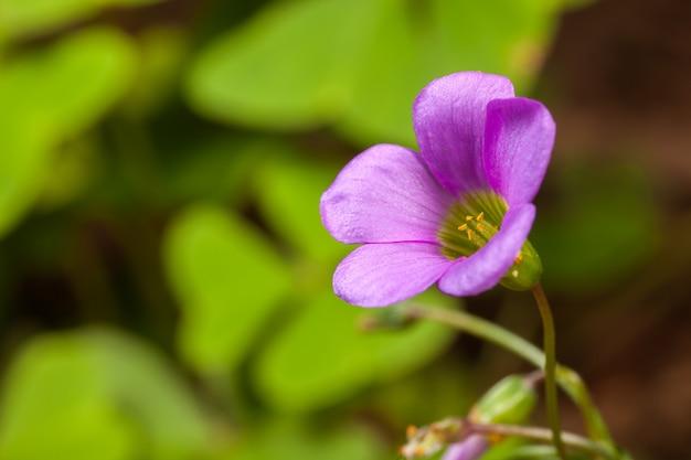 Trifolium del trifoglio del fiore del trifoglio della foglia dell'albero - porpora