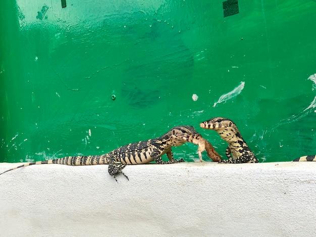 Albero piccolo monitor dell'acqua o varanus salvator sul cemento crema e sul vecchio sfondo verde, uno di loro che mangia ala di pollo cruda.