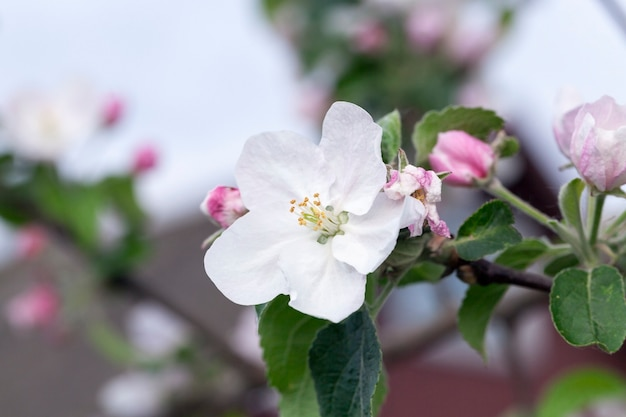 Albero, boccioli rosa e fiori di meli che crescono in un frutteto nel periodo primaverile dell'anno, il mese di maggio. la foto è stata scattata in primo piano, con una ridotta profondità di campo. cielo blu sullo sfondo