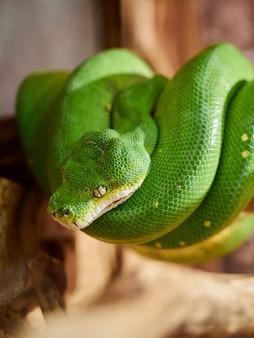 Serpente del serpente verde del pitone dell'albero su uno zoo del ramo