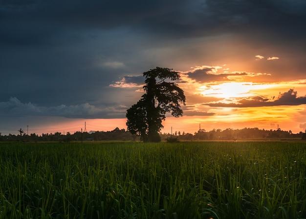 Albero in campo di riso con cielo tempestoso al tramonto in campagna