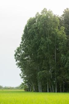 Albero nel campo di riso.