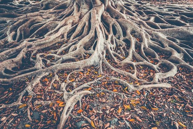 Il sistema di radici dell'albero sul terreno. sfondo.