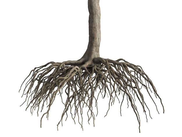 Le radici degli alberi isolano su sfondo bianco oggetto