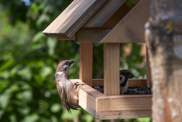 Passera mattugia che guarda in una mangiatoia per uccelli