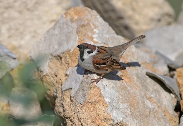 Un passero sulla roccia