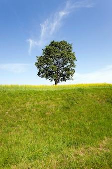 Un albero con foglie verdi che cresce in un campo, dove cresce la colza