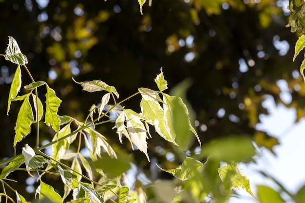 Un albero con fogliame bianco e verde, una combinazione di colore bianco e verde sul fogliame degli alberi in estate