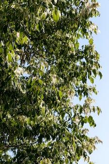 Un albero con fogliame bianco e verde