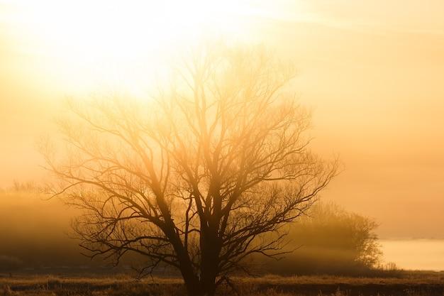 Un albero senza foglie sotto i raggi del sole nascente. la foresta è nella nebbia.