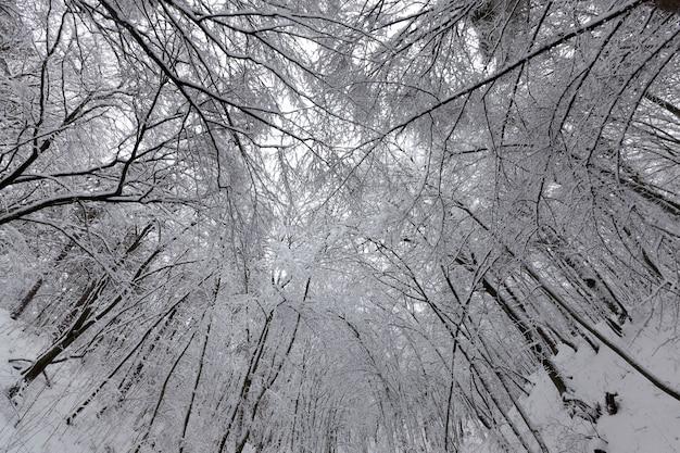 Gli alberi nella foresta o nel parco sono coperti di neve in inverno, fitta foresta in inverno