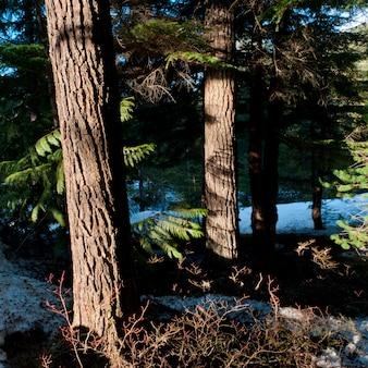 Alberi in una foresta, whistler, columbia britannica, canada