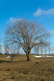 Alberi in primavera: gli alberi rappresentati graficamente in una stagione primaverile. inizio della primavera