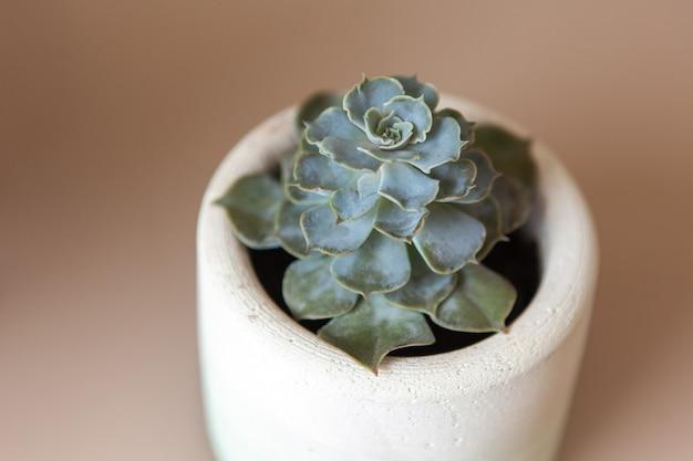 Alla moda succulenta echeveria colorata in vaso di fiori in cemento bianco sul tavolo beige