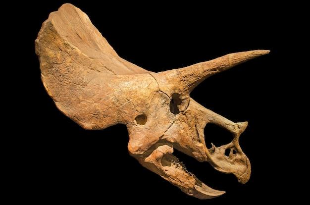 Cranio fossile del triceratopo su fondo isolato il nero