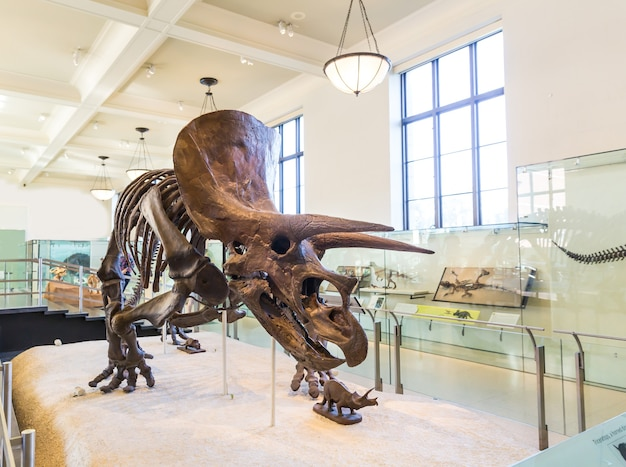Scheletro di triceratopo su piedistallo.