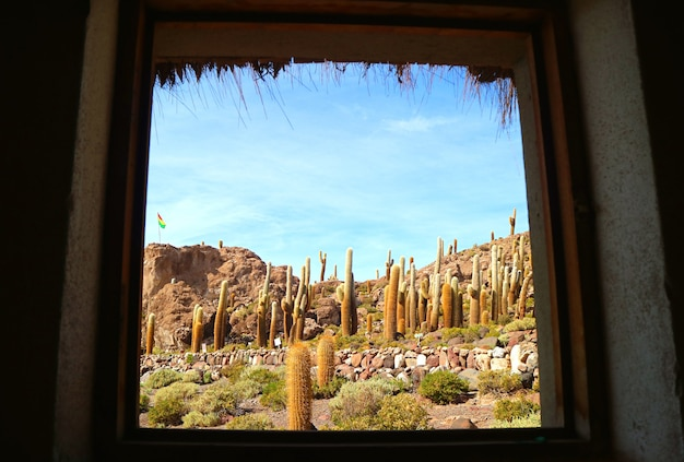Trichocereus campo di cactus sull'isla incahuasi sperone roccioso salar de uyuni saline bolivia