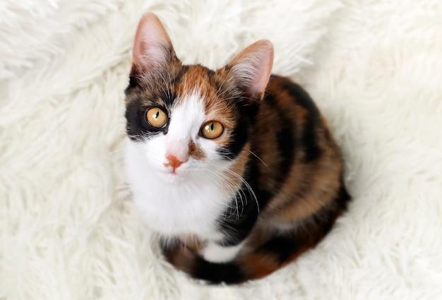 Gatto tricolore calico su sfondo chiaro. il gattino è un simbolo di buona fortuna e prosperità, un gatto dei soldi.