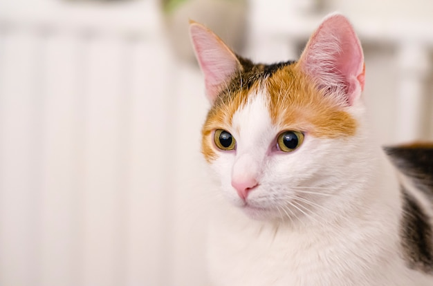 Il gatto tricolore guarda in lontananza. animale domestico.