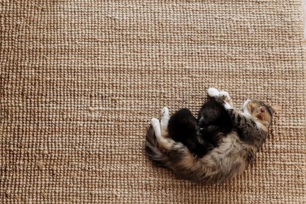 Gatta tricolore sdraiata sul pavimento con i gattini e che li allatta. concetto di trasporto di animali domestici