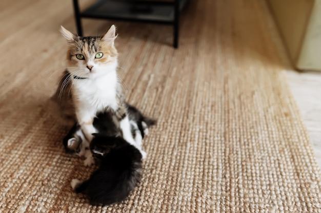 Tricolore mamma gatta sdraiata sul pavimento con i gattini e allattandoli. mamma gatta con gattini piccoli