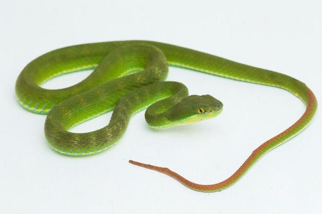 Trimeresurus insularis serpente della vipera delle fosse dell'isola dalle labbra bianche su bianco