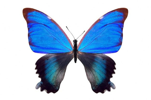 Farfalla blu tropicale. isolato su sfondo bianco