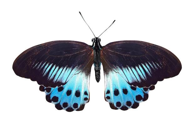 Farfalla blu tropicale isolata su bianco