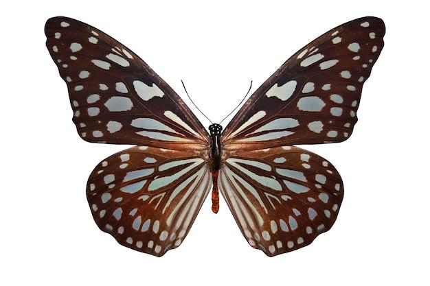 Farfalla marrone tropicale isolata su priorità bassa bianca