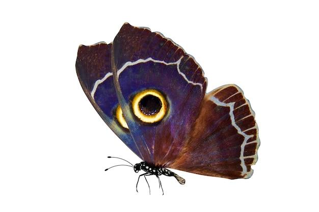 Farfalla colorata tropicale isolata su bianco